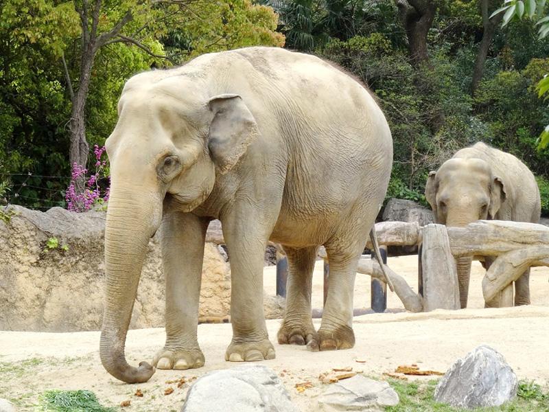 雌のアジアゾウ「春子」が死ぬ、推定66歳