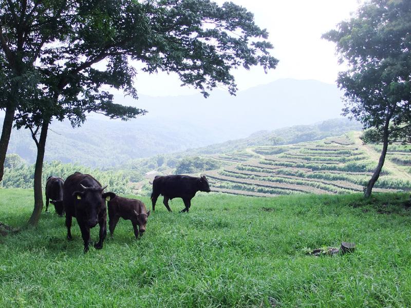 牛の放牧、低コストで脚光を浴び始める
