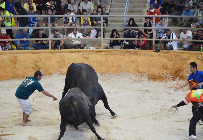 スポーツの秋に闘牛、満場の来客でにぎわう