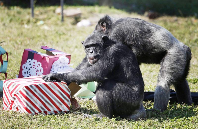 チンパンジーのクリスマス