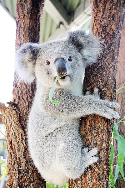 豪州初の「コアラ国立公園」が誕生か