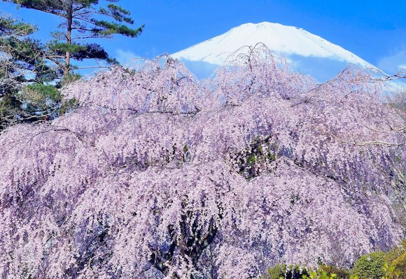 「日本の美・富士と花」