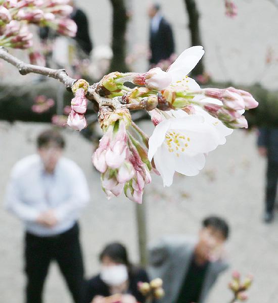気象庁が桜開花を発表、昨年より2日早く