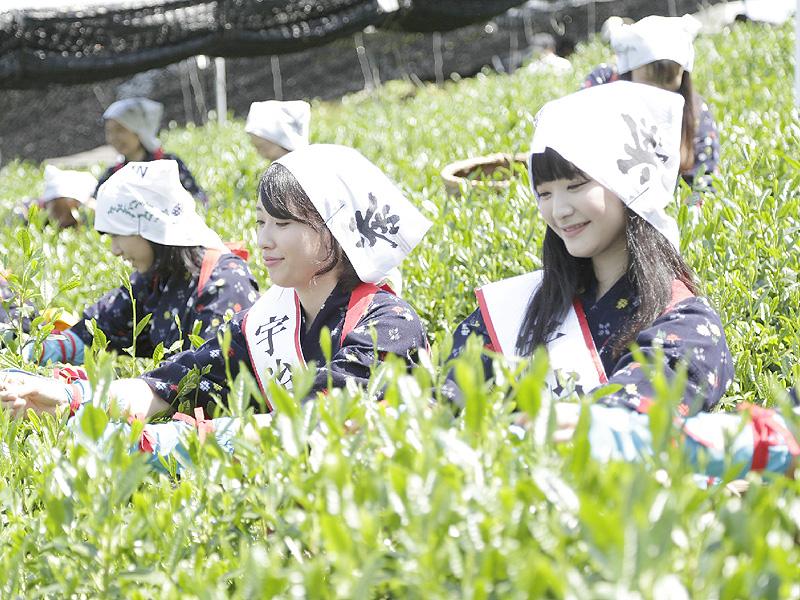 八十八夜に京都・宇治の茶園で新茶摘み