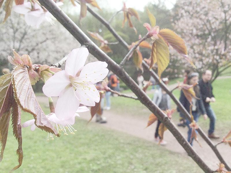 安倍首相が2013年訪露時に植樹した桜が開花