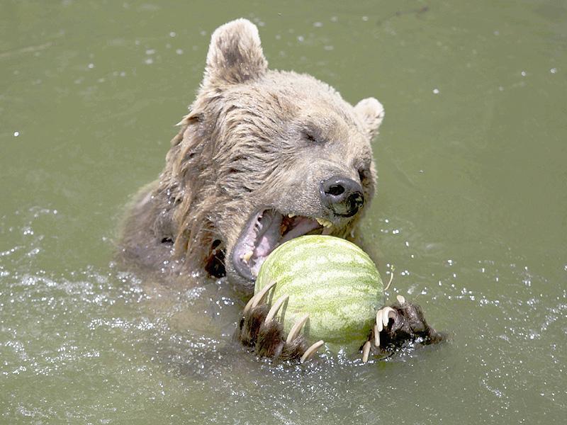 豪快な食べっぷり、スイカにかぶり付くヒグマ