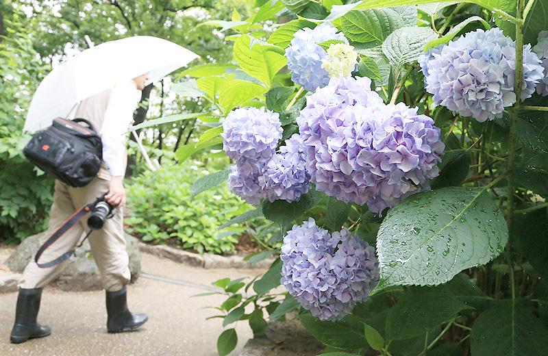 大阪市の長居植物園で、アジサイ6200株が見頃