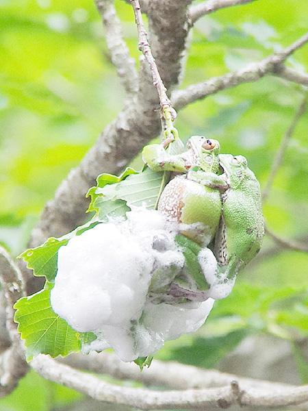 雨不足もモリアオガエル産卵