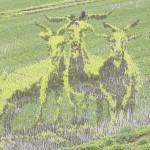 10ヘクタールの田んぼに巨大なヤギ