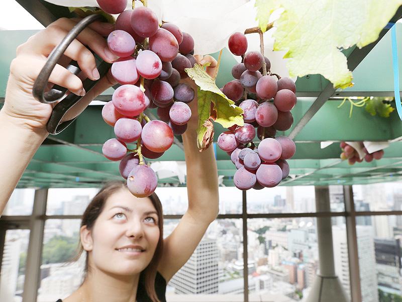 「甘みは十分」地上100メートルでブドウの収穫