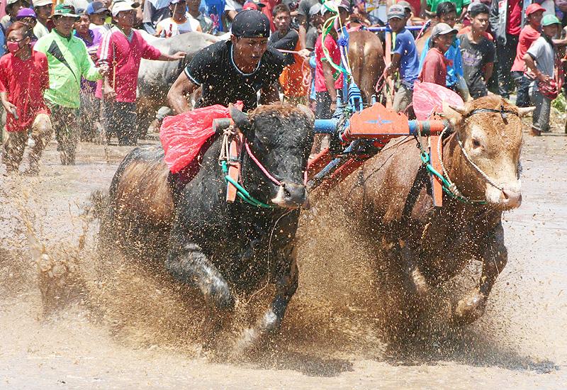走れ!走れ! 牛のレースで水しぶき