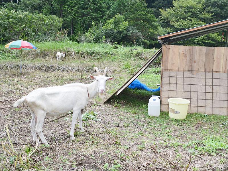 遊休農地の除草にヤギ、手間と費用かけず