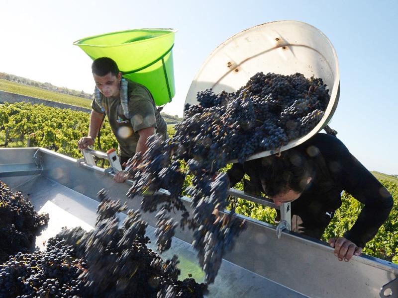 地球温暖化の影響、フランスではワインにも